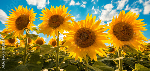 Fototapeta Blooming sunflower crop field