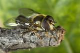 Macro of Hoverfly (Helophilus pendulus)