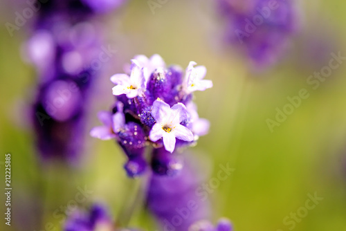 Plexiglas Lavendel Lavender with blurred background