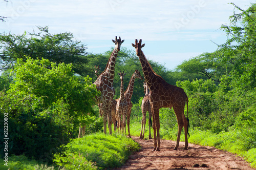 Sticker Group of giraffe crossing road in mere national park kenya
