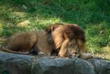Male lion resting.