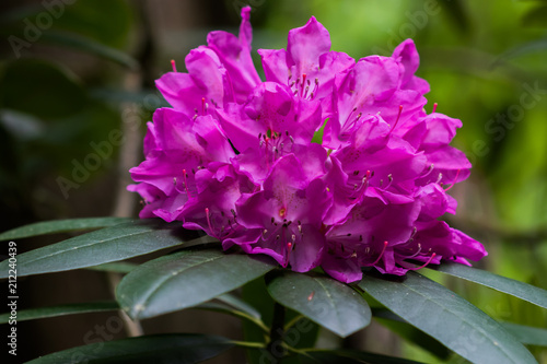 Fioletowy Różanecznik Bloom Close-up