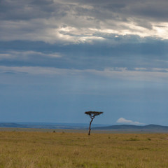 Lone acacia tree against a backdrop of the open savannah