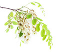 Blossoming branch of Acacia isolated on white background. Black Locust - 212259031