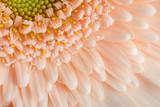 Close-up of apricot color's Gerbera. - 212259064