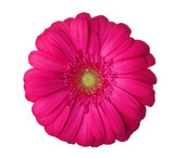 Gerbera flower of magenta color isolated on white background. - 212259084