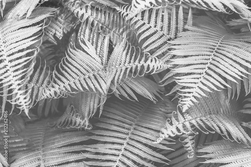 Beautyful young ferns leaves bw foliage natural floral fern background in sunlight natural graphics