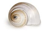 Muschel weiß Unterwasserschnecke Schnecke Südsee Ozean - 212271488