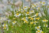 Gros plan sur des fleurs de bord de mer en Bretagne - 212275646