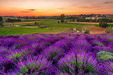 Fresh lavender field at sunset - 212281050