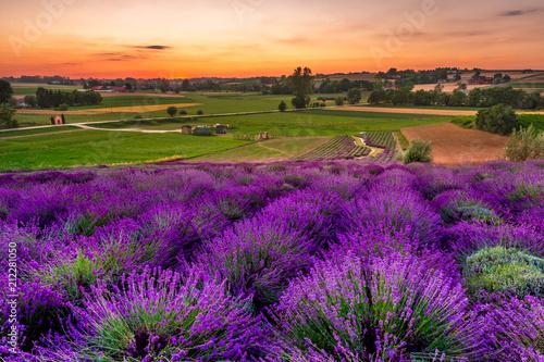 Fresh lavender field at sunset - 212281050