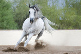 Arabian Horse Galloping - 212288461
