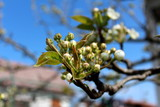 Bunch of white closed pear tree flower buds surrounded with green leaves on single branch with clear blue sky in background on warm sunny day - 212289897