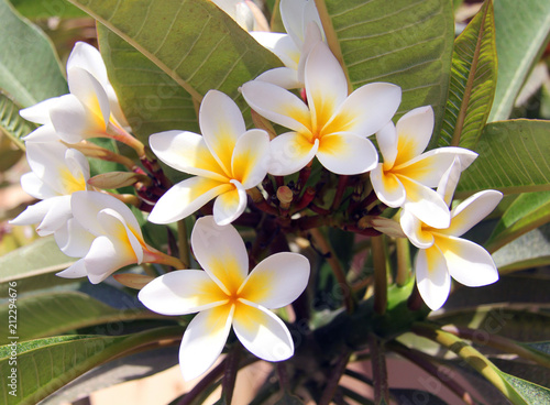 Fotobehang Plumeria Photo of a macro background of white plumeria