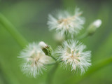 Little ironweed (Vernonia Cinerea) - 212316009