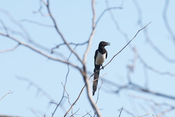 magpie on a tree branch against the sky