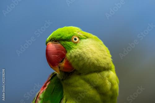Fototapeta Papagei in Australien