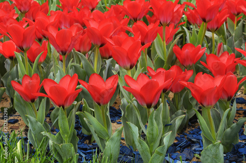 Aluminium Tulpen Clouse-up of tulips Red Revival (bright red) planted on the Singing Field park. April 27, 2018. Kiev, Ukraine