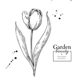 Tulip flower and leaves drawing. Vector hand drawn engraved flor - 212324094