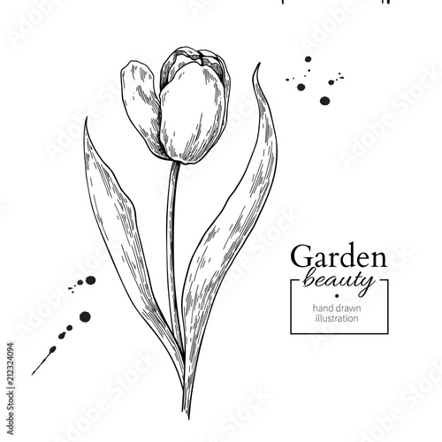 Fototapeta Tulip flower and leaves drawing. Vector hand drawn engraved flor