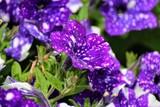 Purple flower - 212329073