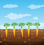 Carrots growing underground with roots - 212334008