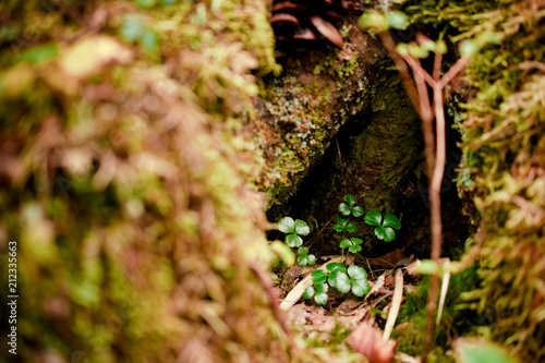 first new and fresh clovers grow on the old tree in spring - 212335663