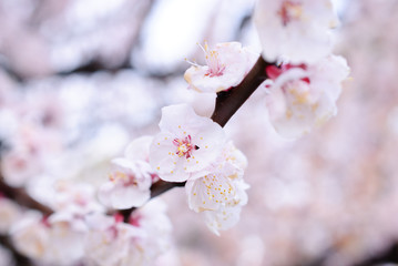 japan cherry blossom, sakura season
