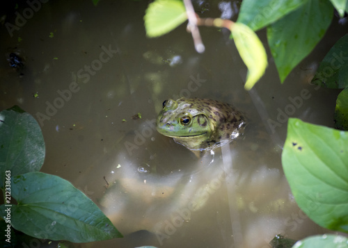 Fotobehang Kikker A green bullfrog with large eyes emerges from the water in a murky swamp.