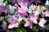Розовая цветущая азалия в ботаническом саду Санкт-Петербурга