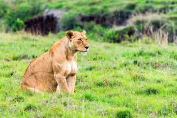 Lioness walks in savanna
