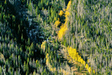 Aspen grove at autumn in Rocky Mountains - 212347207
