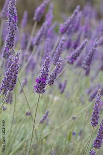 Plexiglas Lavendel English lavender