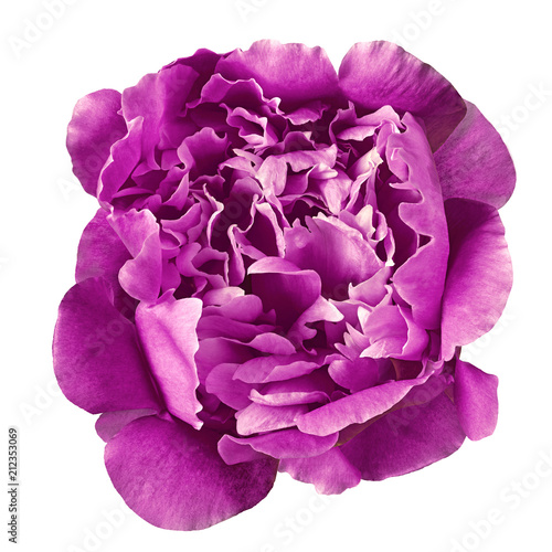 Flower eggplant peony,  isolated on a white  background. Close-up. Element of design. - 212353069