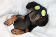 Leinwanddruck Bild - dog dachshund, black and tan, relaxed from spa procedures on face with cucumber, covered with a towel