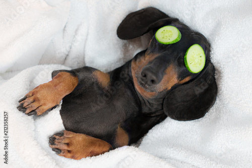Leinwanddruck Bild dog dachshund, black and tan, relaxed from spa procedures on face with cucumber, covered with a towel