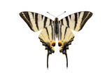 Scarce swallowtail butterfly, isolated on white background