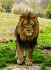 Lion Roaming in a Field
