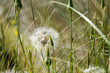 Long Grass Background with Dandelion