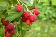 Branch of ripe raspberries in garden. Red sweet berries growing on raspberry bush in fruit garden.