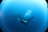 SCUBA diver with giant female whale shark in Darwin Island in the Galapagos Islands - 212381008