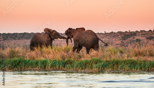 Fototapeta Two elephants play along the bank of the Chobe river in Africa at magic hour.