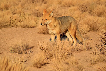 Andean Fox or Zorro Culpeo in the Desert Brush Field, Altiplano of Chile, South America