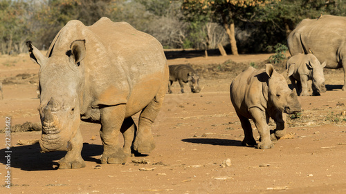 Plexiglas Neushoorn mother and baby white rhino in south africa.