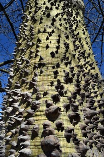 Tree.The bark of a rare tree Monkey Go Happy Xmas Tree - 212384885