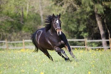 Pferd quarter horse galoppiert frei
