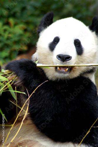 Plexiglas Panda großer Pandabär mit Bambus in der Tatze