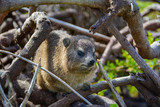 Hyrax or Rock Rabbit in Cape Town along the South Western Coast - 212410004