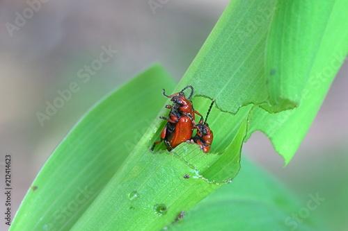Fotobehang Lelietjes van dalen Bright red leaf beetle, Lilioceris merdigera