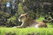 Lazy Lioness